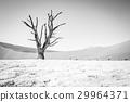 沙漠 蘇絲斯黎 樹木 29964371
