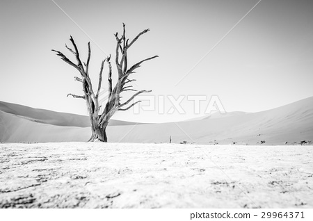 Dead tree in Sossusvlei in black and white. 29964371