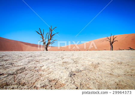 Dead tree in Sossusvlei desert. 29964373