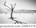 Dead tree in Sossusvlei in black and white. 29964376