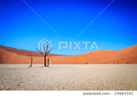 Dead tree in Sossusvlei desert. 29964382