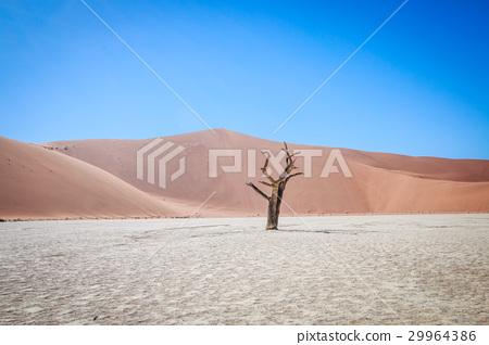 Dead tree in Sossusvlei desert. 29964386