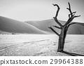 沙漠 蘇絲斯黎 樹木 29964388