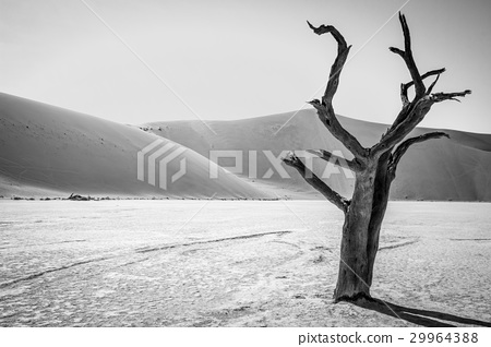Dead tree in Sussusvlei in black and white. 29964388