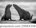 Two bonding Cape fur seals in black and white. 29964398