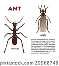 Real ant insect illustration 29968749