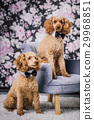 two brothers poodle together 29968851