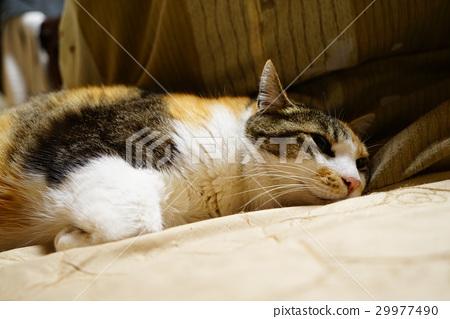 Sleepy cat 29977490