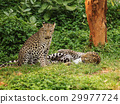 two leopard resting on a grass 29977724