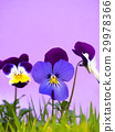 비올라 꽃 29978366