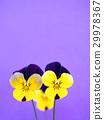 비올라 꽃 29978367
