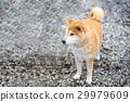 Japanese Shiba Inu dog in public park 29979609