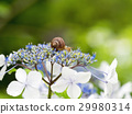 hydrangea, close up, closeup 29980314