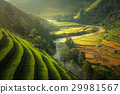 Green Rice fields on terraced  29981567