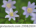 银莲花属植物) 菊咲一華(毛茛科 栎林银莲花 29982604