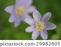 银莲花属植物) 菊咲一華(毛茛科 栎林银莲花 29982605