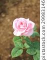Rose 29983146