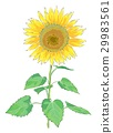sunflower 29983561