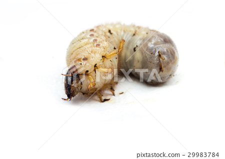 Larva of Oryctes rhinoceros 29983784