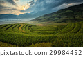 Green Rice fields on terraced 29984452
