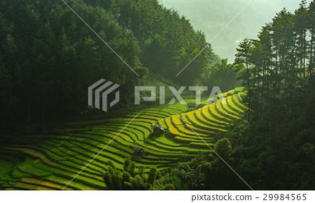 Rice fields on terraced of Mu Cang Chai 29984565