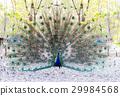 孔雀 鸟儿 鸟 29984568