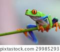 Red eye frog 29985293