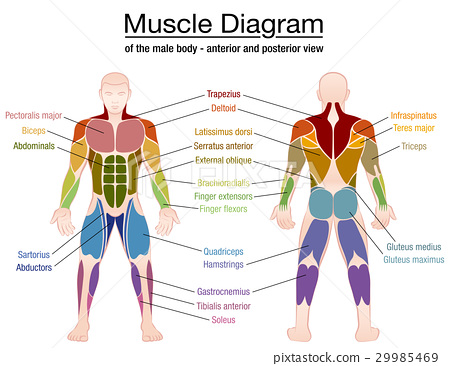 Muscle Diagram Male Body Names 29985469