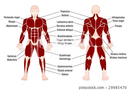 Muscles Chart Description Muscular Body Man 29985470