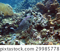 Thriving coral reef alive with marine life  fish 29985778