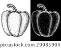 Bell pepper. Hand drawn sketch 29985904