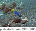 coral reef alive with marine life and fish, Bali 29986085