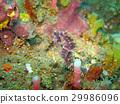 Bargibanti Pygmy Seahorse the smallest  29986096