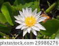 Beautiful white lotus in garden 29986276