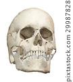 頭蓋骨 頭顱骨 水彩 29987828