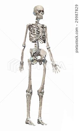 Human skeleton watercolor style 29987829