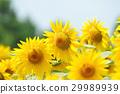 夏の風景 ひまわり畑 アップ 横構図 29989939