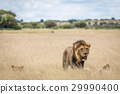 Group of Lions in high grass. 29990400