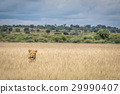 Lion in the high grass. 29990407