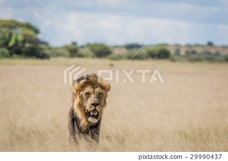 Male Lion in the high grass. 29990437