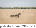 Lion in the high grass. 29990516