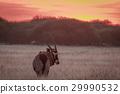 Gemsbok standing in grass at sunset. 29990532