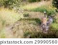 Leopard walking towards the camera. 29990560