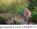 Leopard walking towards the camera. 29990577