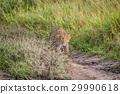 Leopard stalking in the Khalahari. 29990618