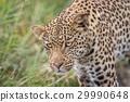 Close up of a Leopard head. 29990648