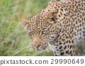 Close up of a Leopard head. 29990649