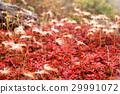 ต้นเมเปิล,เมล็ดพันธุ์,ฤดูใบไม้ร่วง 29991072