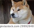 Shiba Inu 29992648