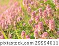 紫色死蕁麻 唇形科像草 花 29994011